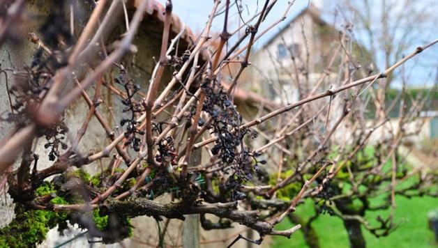 Winter vines in Burgundy - Food Gypsy