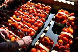 Potager Eardley, Tomatoes - FG