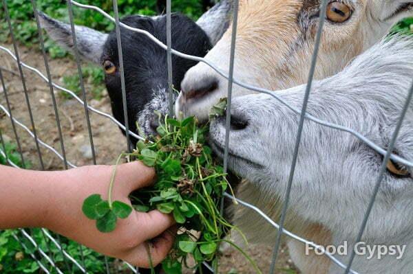 Potager Eardley, goats - FG